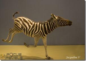 Musée Histoire Naturelle LILLE-7145 (Copier)
