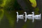 086 Canards au fil de l'eau HERPOEL Alice.jpg