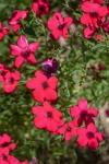 033-Fleurs-rouges-jacqueline-Vanbiervliet.jpg