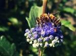 044-Le-repas-des-abeilles-Philippine-Le-Barrois-dOrgeval.jpg