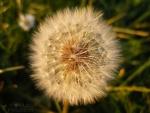 046-Fleur-de-Ppssenlit-dans-la-lumire-du-soleil-couchant-Philippine-Le-Barrois-dOrgeval.jpg