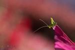053-sauterelle-juvenile-prete-a-sauter-Deroulez-aurore.jpg