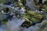 082-La-grenouille-qui-bulle-Bourriez-Philippe.jpg
