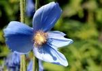 091-Fleur-bleue-Vienne-Dominique.jpg