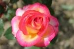104-Rose-de-Lo-Ferr-Fatoux-Thierry.jpg