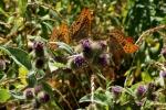 126-Echange-entre-papillons-Debeer-Delphine.jpg