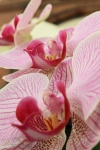157-Orchides-Deram-Nathalie.jpg