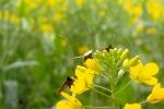 164-Papillon-sur-fleurs-de-colza-ZALEWSKI-Bernadette.jpg