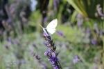 167-Papillon-butineur-MICHELE-BUISSETTE.jpg