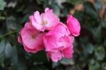 169-Les-roses-anciennes-MICHELE-BUISSETTE.jpg