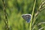 172-Papillon-de-Phalempin.jpg