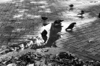 078 - Pigeons - BERRET Pascal.JPG
